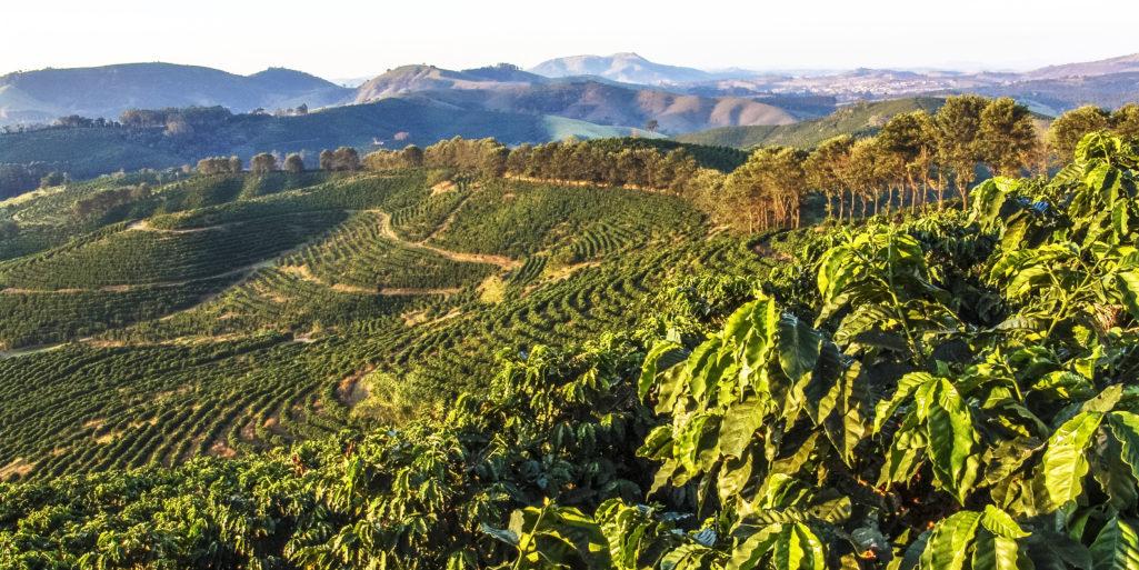 Plantacje kawy w Brazylii region Minas Gerais